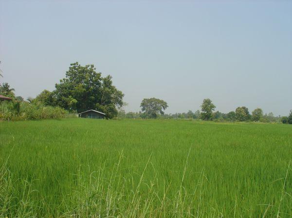 Die unendlichen Reisfelder im Isaan...